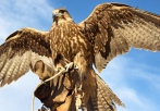 falconry experience gift