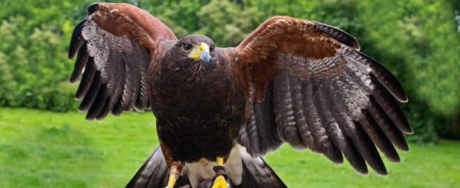 learn the art of falconry