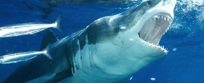 Farallon Islands Tours Great White Sharks