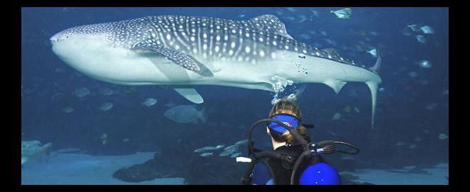 Swim With Whale Sharks Georgia Aquarium